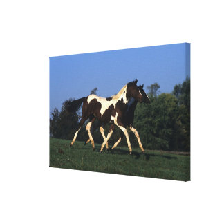 Paint Yearlings Running Canvas Print
