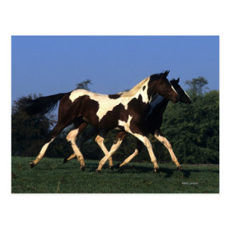 Paint Yearlings Running Post Card