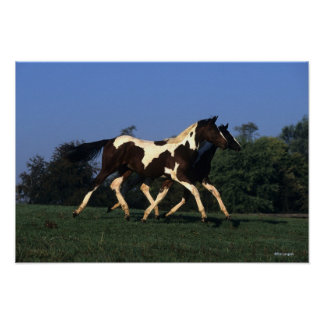Paint Yearlings Running Poster