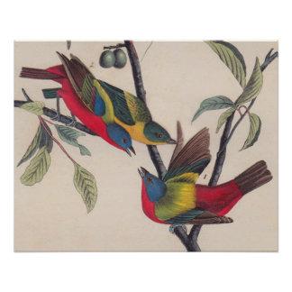 Painted Bunting Audubon Prints