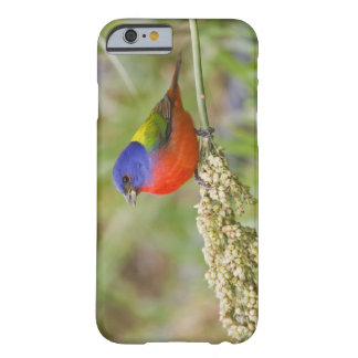 Painted Bunting (Passerian ciris) male feeding Barely There iPhone 6 Case