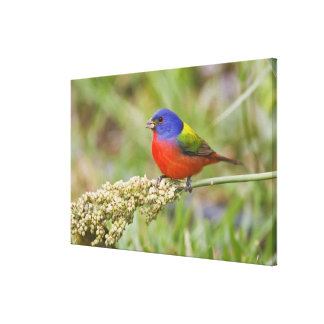 Painted Bunting (Passerian ciris) male feeding Stretched Canvas Prints