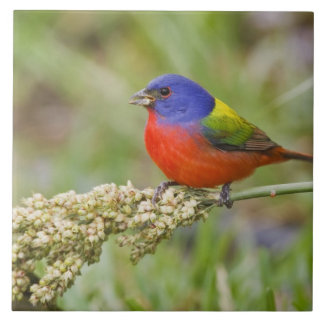 Painted Bunting (Passerian ciris) male feeding Ceramic Tile