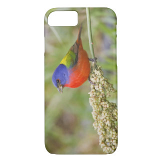 Painted Bunting (Passerian ciris) male feeding iPhone 7 Case