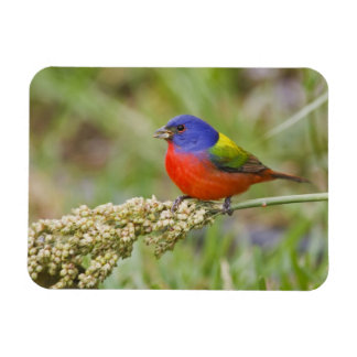 Painted Bunting (Passerian ciris) male feeding Magnet