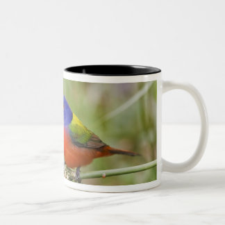 Painted Bunting (Passerian ciris) male feeding Two-Tone Coffee Mug