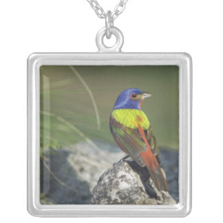 Painted Bunting, Passerina ciris, male , Necklaces