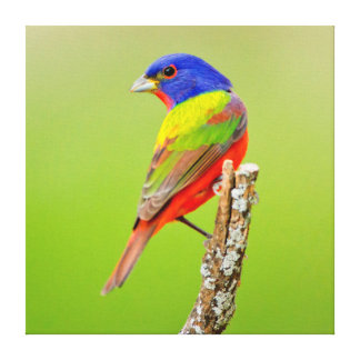 Painted Bunting (Passerina ciris) Male Perched Canvas Print