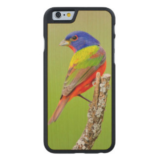 Painted Bunting (Passerina ciris) Male Perched Carved® Maple iPhone 6 Slim Case