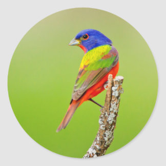 Painted Bunting (Passerina ciris) Male Perched Classic Round Sticker