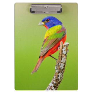 Painted Bunting (Passerina ciris) Male Perched Clipboard