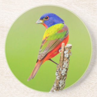 Painted Bunting (Passerina ciris) Male Perched Coaster