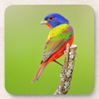 Painted Bunting (Passerina ciris) Male Perched Drink Coaster