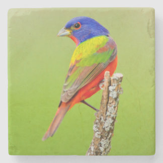 Painted Bunting (Passerina ciris) Male Perched Stone Beverage Coaster
