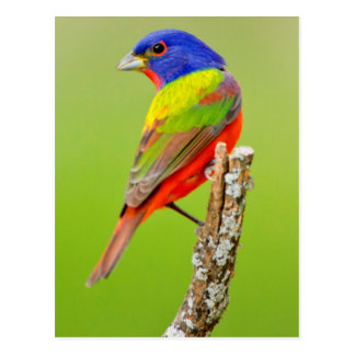 Painted Bunting (Passerina ciris) Male Perched Postcards