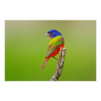 Painted Bunting (Passerina ciris) Male Perched Poster