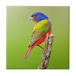 Painted Bunting (Passerina ciris) Male Perched Ceramic Tiles