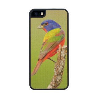 Painted Bunting (Passerina ciris) Male Perched Wood iPhone SE/5/5s Case