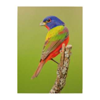 Painted Bunting (Passerina ciris) Male Perched Wood Prints