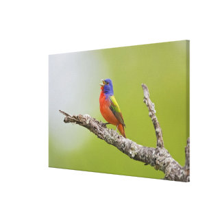 Painted Bunting Passerina ciris) male singing Stretched Canvas Print
