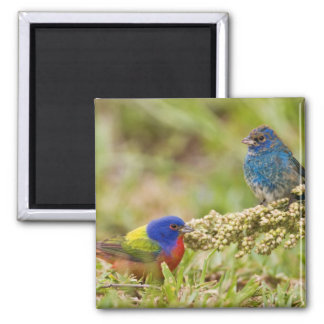 Painted Bunting Passerina citria) adult male 2 2 Inch Square Magnet
