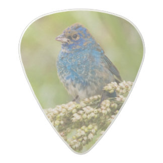 Painted Bunting Passerina citria) adult male 2 Acetal Guitar Pick