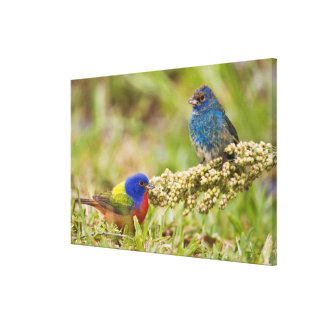 Painted Bunting Passerina citria) adult male 2 Canvas Print