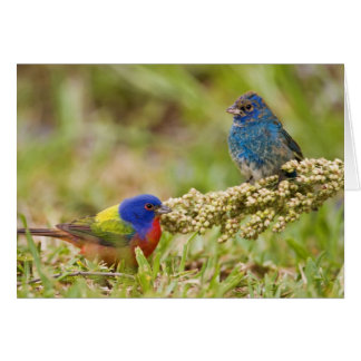 Painted Bunting Passerina citria) adult male 2 Card