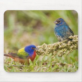Painted Bunting Passerina citria) adult male 2 Mouse Pad