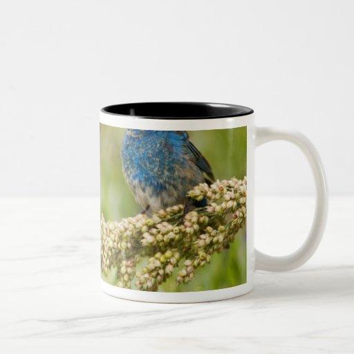 Painted Bunting Passerina citria) adult male 2 Two-Tone Coffee Mug