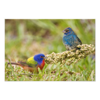 Painted Bunting Passerina citria) adult male 2 Photo Print
