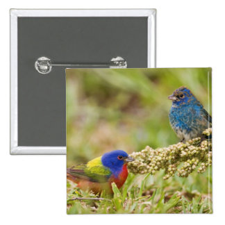 Painted Bunting Passerina citria) adult male 2 Pinback Button