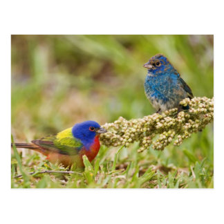 Painted Bunting Passerina citria) adult male 2 Postcard
