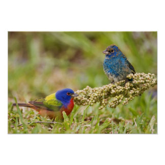 Painted Bunting Passerina citria) adult male 2 Poster