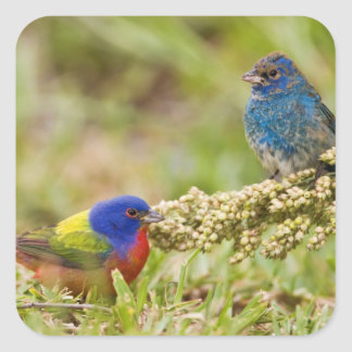 Painted Bunting Passerina citria) adult male 2 Square Sticker