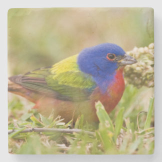 Painted Bunting Passerina citria) adult male 2 Stone Coaster