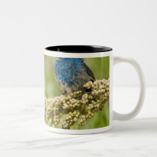 Painted Bunting Passerina citria) adult male 2 Two-Tone Coffee Mug