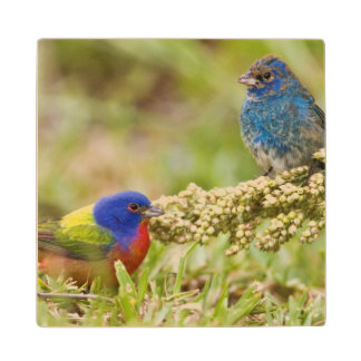 Painted Bunting Passerina citria) adult male 2 Wood Coaster
