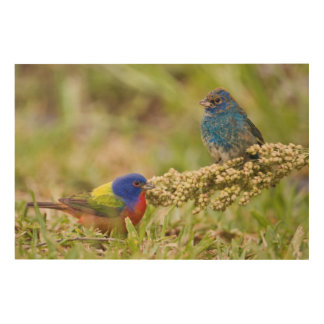Painted Bunting Passerina citria) adult male 2 Wood Wall Art