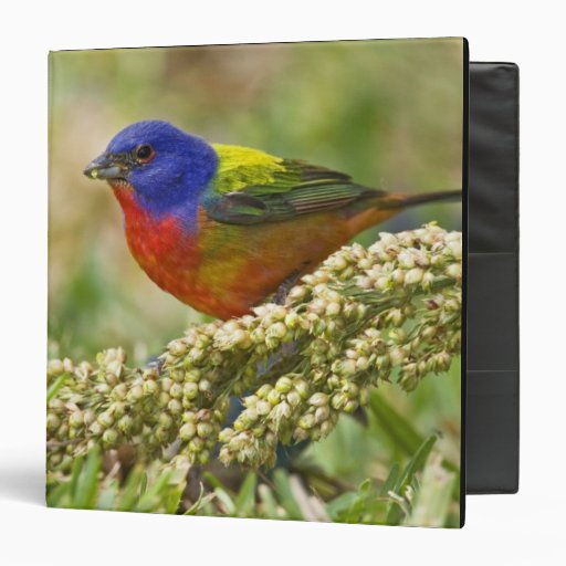 Painted Bunting Passerina citria) adult male Binders