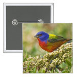 Painted Bunting Passerina citria) adult male 2 Inch Square Button
