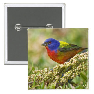 Painted Bunting Passerina citria) adult male Button