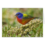 Painted Bunting Passerina citria) adult male Greeting Card