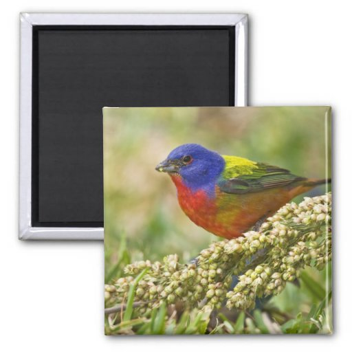 Painted Bunting Passerina citria) adult male 2 Inch Square Magnet