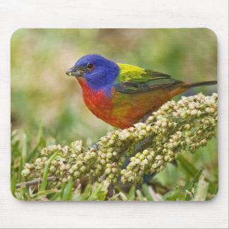 Painted Bunting Passerina citria) adult male Mouse Pad