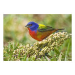 Painted Bunting Passerina citria) adult male Photo Print