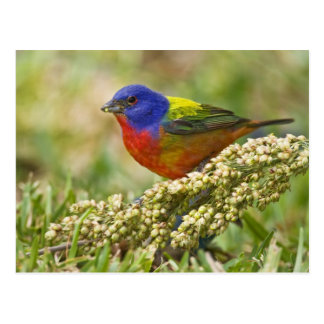 Painted Bunting Passerina citria) adult male Postcard