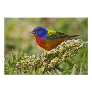 Painted Bunting Passerina citria) adult male Poster