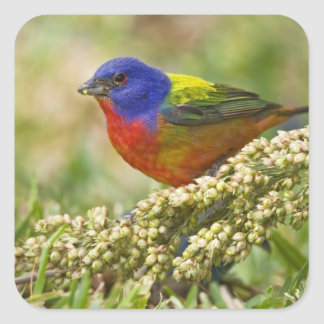 Painted Bunting Passerina citria) adult male Square Sticker