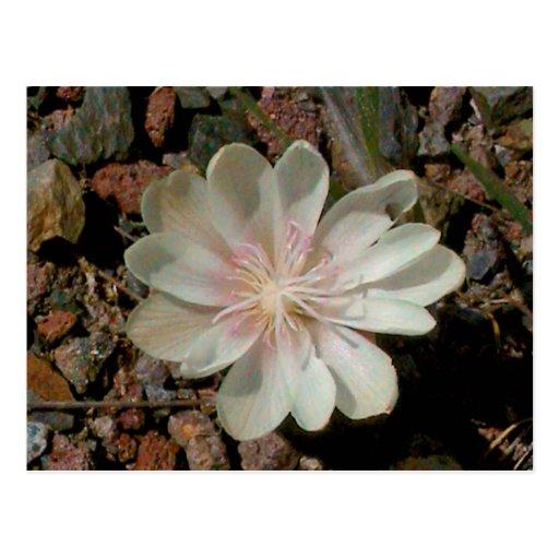 Painted Desert Flower Postcards